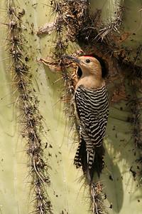 Gila Woodpecker, male - Gilbert, Arizona