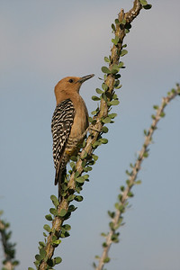 Gila Woodpecker, female - Gilbert, Arizona