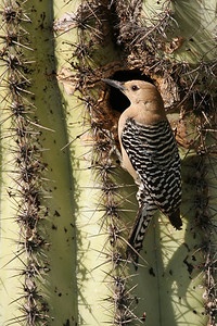 Gila Woodpecker, female - Gilbert, Arizona
