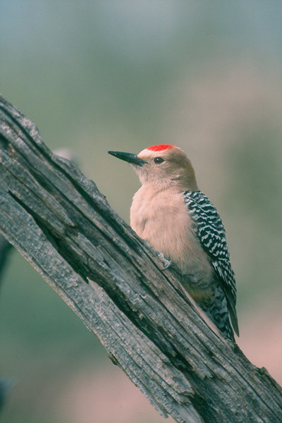 Gila Woodpecker, male - Saguaro National Monument, Arizona