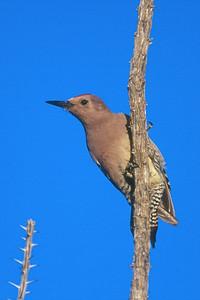 Gila Woodpecker, male - Saguaro National Monument, Arizona