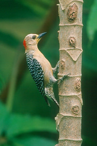 Red-crowned Woodpecker - El Valle, Panama