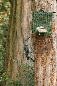 Immature Red-bellied Woodpecker - Pittsburgh, Pennsylvania