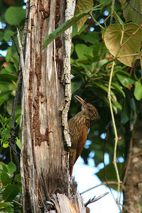 Ivory-billed Woodcreeper - Mexico