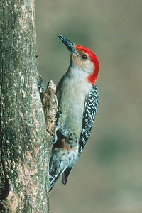 Red-bellied Woodpecker, male - Pittsburgh, Pennsylvania