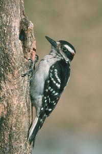 Hairy Woodpecker, male - Pittsburgh, Pennsylvania