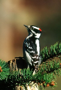 Downy Woodpecker, male - Pittsburgh, Pennsylvania