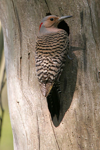 Northern Flicker, female - Pittsburgh, Pennsylvania