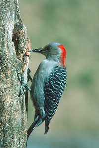 Red-bellied Woodpecker, female - Pittsburgh, Pennsylvania