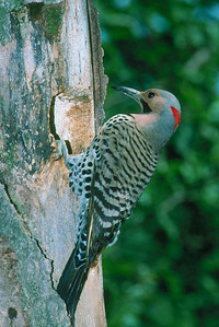 Northern Flicker, male - Pittsburgh, Pennsylvania