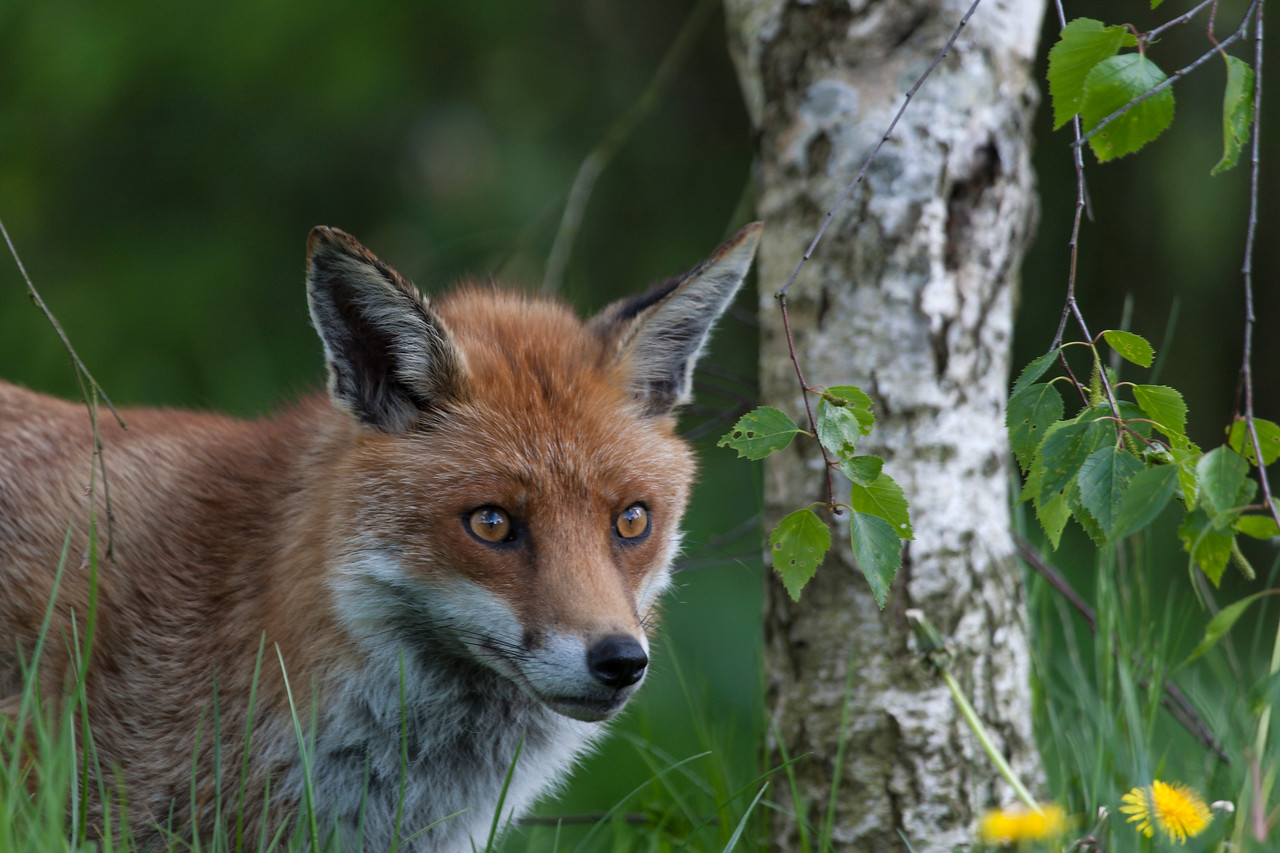 Red Fox Staring Ahead