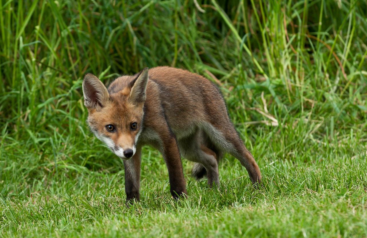 Baby Fox Cub