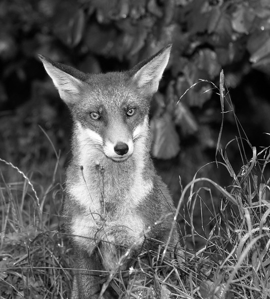 Black and white image of a red fox
