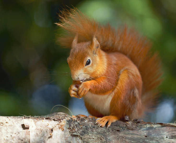 Red Squirrel sitting on the branch of a silver birch tree