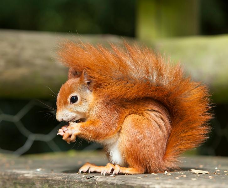 Red Squirrel eating a hazel nut