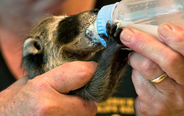 Ann Eddings of Herrick Wildlife Rescue, feeds a baby raccoon formula from a bottle. Eddings said raccoons require care like any other mammal, and need to be fed and burped, played with and taken and regularly.