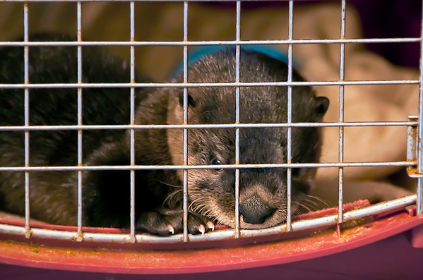 A rescued river otter peeks through her cage in the Eddings' dining room. The responder who found the otter brought her to the Eddings under the assumption it was a puppy.