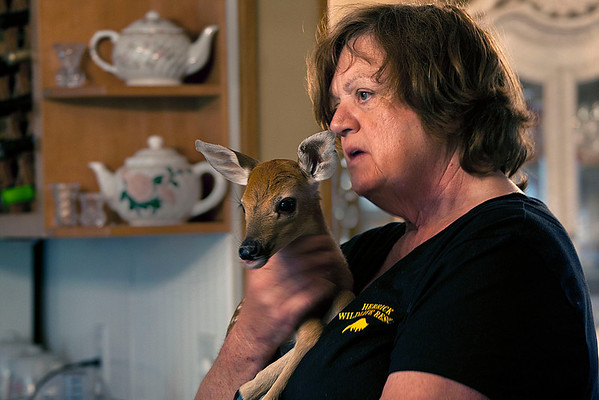 Ann Eddings of Herrick Wildlife Rescue Holds a fawn she and her husband rescued Thursday. Eddings said the fawn is still cautious of being around people, although she feels confident that the animal will reintegrate successfully into the wild.