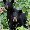 Image of June's two cubs taken July 2011. Female cub is closest to the camera with the light muzzle, male cub is to the back. They were born in January 2011. Ursus americanus (American Black Bear).