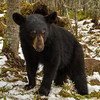 Image of Aster in front of her den taken late March 2012.  Aster was born in January 2011. Ursus americanus (American Black Bear).