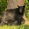 Image of Bow taken August 2013. Bow was born in 2006. Ursus americanus (American Black Bear).