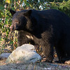 Image of Bow taken September 2011. Bow was born in 2006. Ursus americanus (American Black Bear).