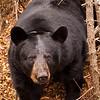 Image of Braveheart outside her temporary den taken October 2010. Braveheart was born in 2002. Ursus americanus (American Black Bear).
