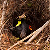 Image of Braveheart in her temporary den taken October 2010. Braveheart was born in 2002. Ursus americanus (American Black Bear).