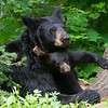 Image of Braveheart and one of her cub's taken July 2011. Braveheart was born in 2002 and the cubs in January 2011. Ursus americanus (American Black Bear).