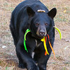 Image of Braveheart taking September 2011. I like this one because you can see her blaze pretty well. Braveheart was born in 2002 and is decorated with colorful ribbons to help identity her as a collared research bear during hunting season. Ursus americanus (American Black Bear).