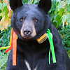 Image of Braveheart taken August 2011. Bow was born in 2006 and is decorated with colorful ribbons to help identity her as a collared research bear during hunting season. Ursus americanus (American Black Bear).