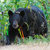 Image of Braveheart taken September 2011. Braveheart was born in 2002 and is decorated with colorful ribbons to help identity her as a collared research bear during hunting season. Ursus americanus (American Black Bear).