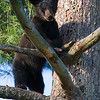 Image of Braveheart's cub taken July 2011. The cubs were born in January 2011. Ursus americanus (American Black Bear).