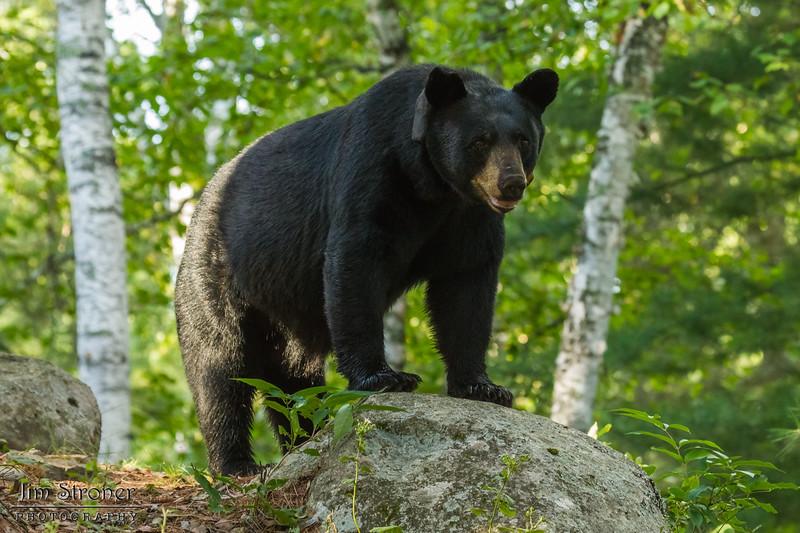 Image of Colleen taken late July 2012. Colleen was born in 2003. Ursus americanus (American Black Bear).
