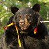 Image of Colleen taken late August 2012. Colleen was born in 2003. Ursus americanus (American Black Bear).