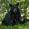 Image of Cookie and cub taken early August 2012. Cookie was born in 2005 and the cub January 2012.  Ursus americanus (American Black Bear).