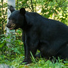 Image of Cookie taken early August 2012. Cookie was born in 2005.  Ursus americanus (American Black Bear).
