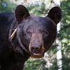 Image of Cookie taken July 2011. Cookie was born in 2005.  Ursus americanus (American Black Bear).