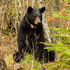 Image of Cookie taken late April 2012.  Her cubs are in a white pine nearby.   Cookie was born in 2005. Ursus americanus (American Black Bear).