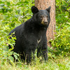 Image of yearling Daisy taken August 2012.  Daisy was born in 2011. Ursus americanus (American Black Bear).
