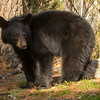 Image of yearling Daisy taken late April 2012. Daisy was born in 2011. Ursus americanus (American Black Bear).