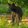 Image of yearling Daisy taken late June 2012. Daisy was born in 2011. Ursus americanus (American Black Bear).