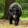Image of Donna taken July 2012.  The Donna was born in 2000. Ursus americanus (American Black Bear).