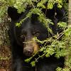 Image of Dot watching me from under a fur tree taken April 2012.  Dot was born in 2000. Ursus americanus (American Black Bear).
