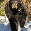 Image of Dot approaching in the snow taken April 2012.  Dot was born in 2000. Ursus americanus (American Black Bear).
