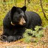 Image of Dot resting at the edge of a cedar swamp taken May 2012.  Dot was born in 2000. Ursus americanus (American Black Bear).