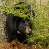 Image of Dot taken April 2012.  Dot was born in 2000. Ursus americanus (American Black Bear).