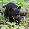 Image of Faith taken late May 2011.  Faith was born in January 2011. Ursus americanus (American Black Bear).
