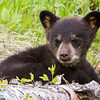 Image of Lily's daughter Faith resting after digging for ant larvae taken May 2011. Faith was born in 2011. Ursus americanus (American Black Bear).