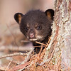 Image of Faith taken April 2011. Faith was born in January 2011.  Ursus americanus (American Black Bear).